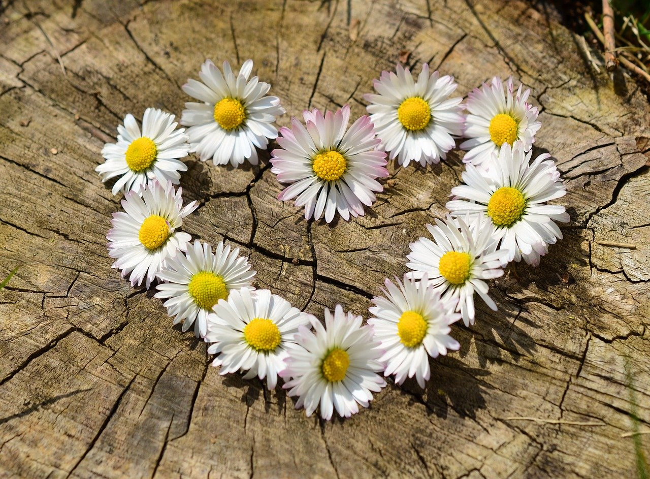 daisy, heart, flowers
