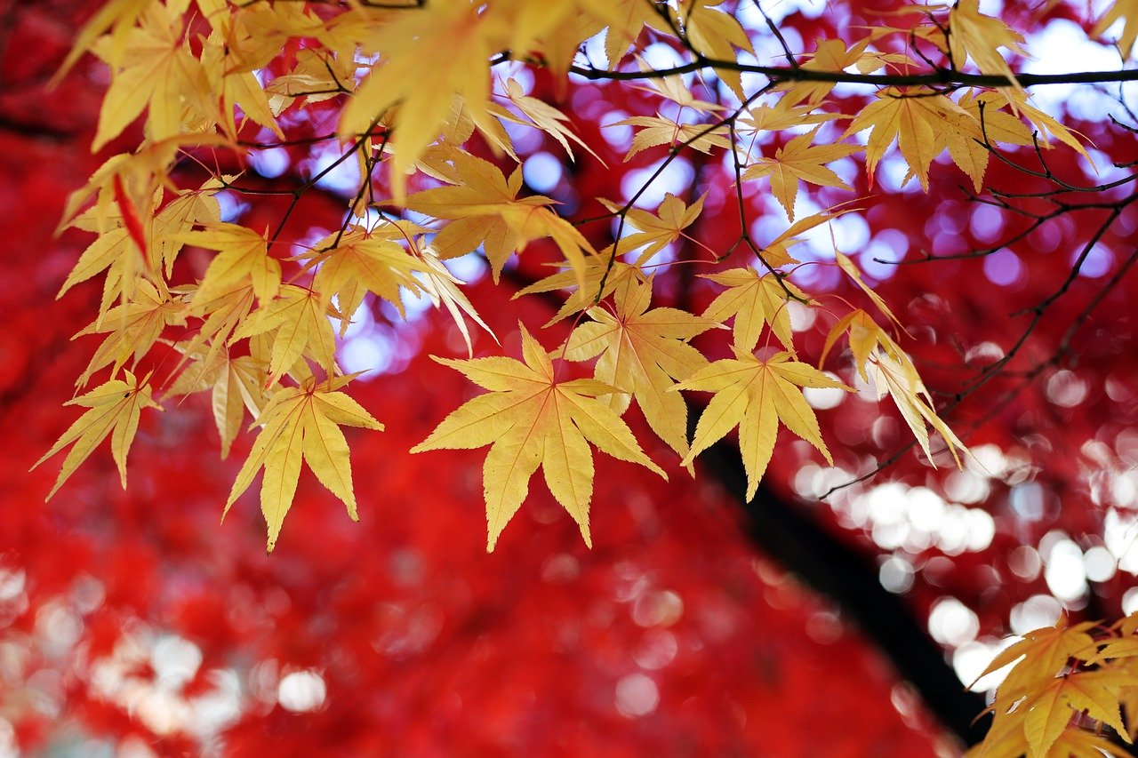 leaves, tree, autumn leaves