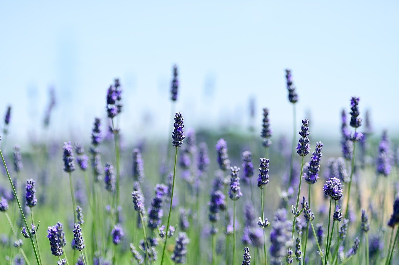 lavender, field, natural