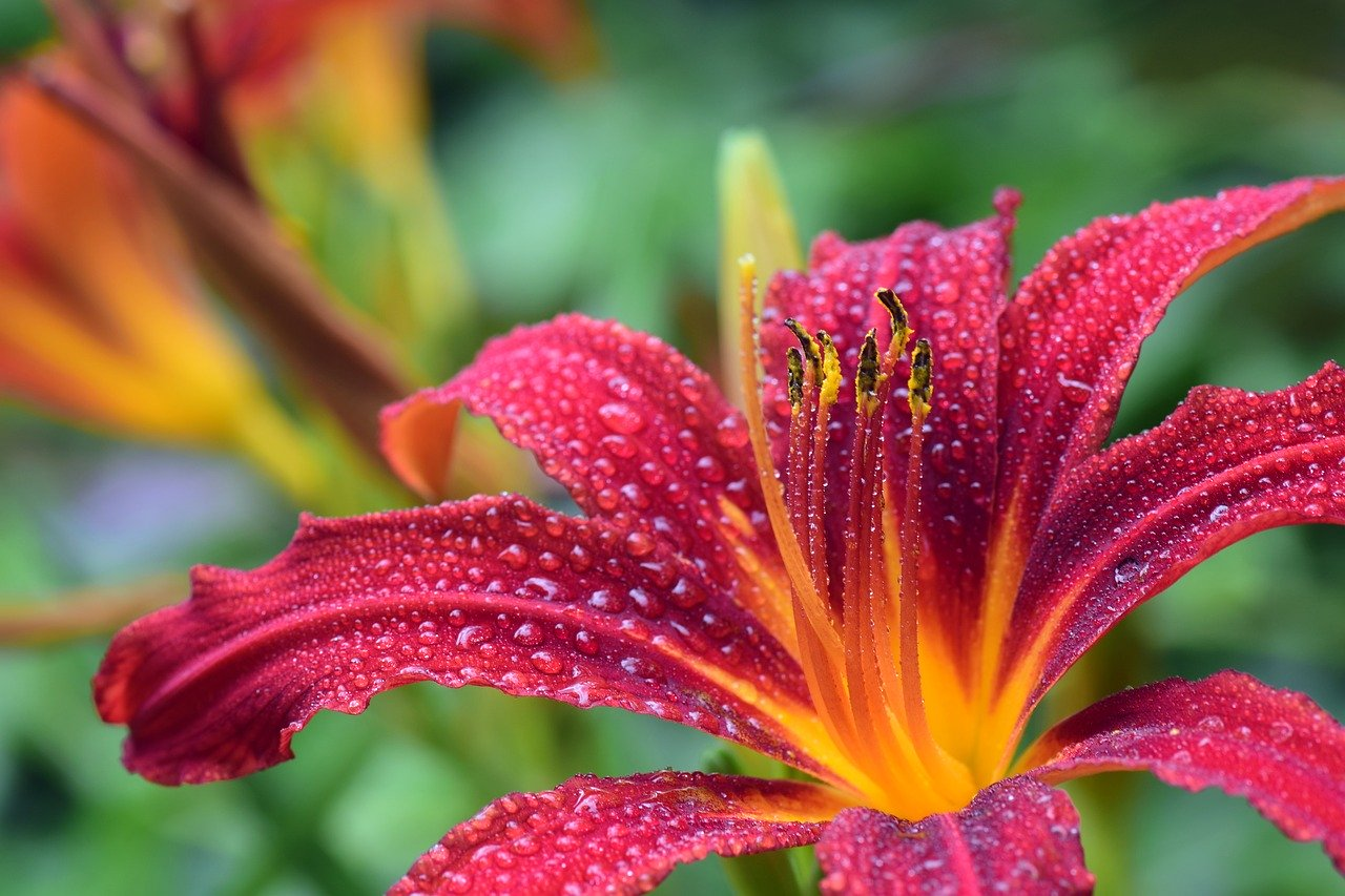 lily, red, blossom